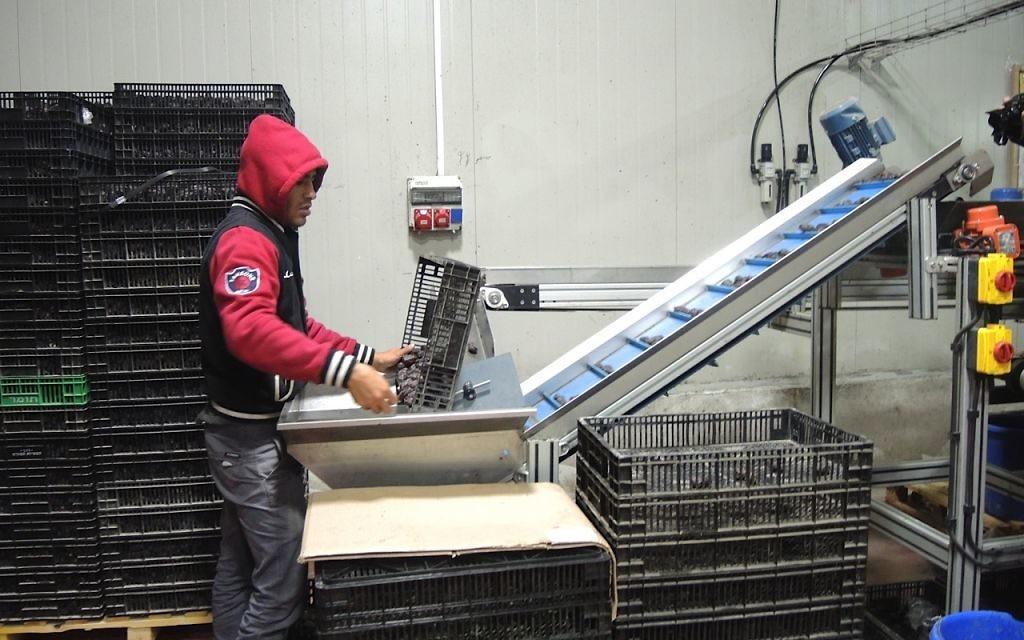 Arbel avait l'habitude d'exporter 100 % de ses dattes en Europe. Maintenant,  il n'en exporte juste que 60 % en Europe (Crédit : Melanie Lidman/Times of Israel)
