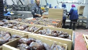 Des dattes Majdoul emballées par les travailleurs palestiniens (Crédit : Melanie Lidman/Times of Israel)