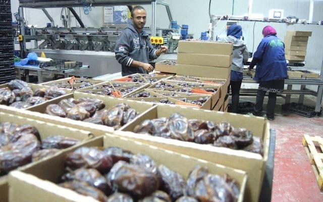 """Des travailleurs palestiniens dans une usine d'emballage de dattes dans la vallée du Jourdain en Cisjordanie, le 11 novembre 2015. Ce produit sera étiqueté """"Produit de Cisjordanie (implantation israélienne) s'il est exporté vers l'Union européenne. (Crédit : Melanie Lidman/Times of Israel)"""