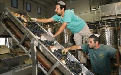 Des vignerons juifs inspectant des raisins dans un vignoble du Gush Etzion, en Cisjordanie, le 8 septembre 2014.  (Crédit : Gershon Elinson/Flash90)