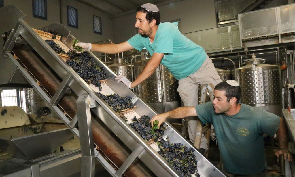 Des vignerons juifs inspectant des raisins dans un vignoble au Gush Etzion, le 8 septembre 2014 en Cisjordanie (Crédit : Gershon Elinson / FLASH90)