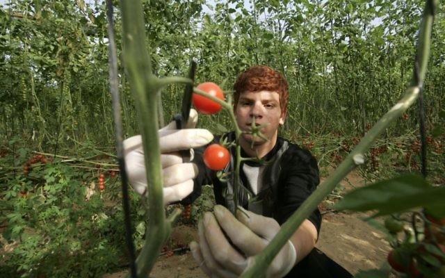 Un agriculteur palestinien cueillant des tomates pour l'exportation à Khan Younis, dans la bande de Gaza, le 2 mars 2011 (Crédit : Abed Rahim Khatib / flash 90)