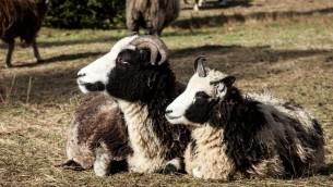 Molly et Leah, deux membres du troupeau des Lewinsky. Les moutons sont prisés pour leur fourrure pointillée et tachetée, bien qu'ils n'en restent que quelques centaines dans le monde. (Crédit : autorisation Gil Lewinsky/Mustard Seed Imaging)