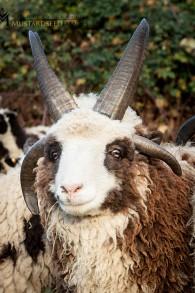 Alors que les moutons ont habituellement deux cornes, les moutons de Jacob en ont entre quatre et six, comme Solomon. (Crédit : Gil Lewinsky/Mustard Seed Imaging)