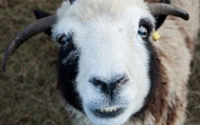 """Un mouton de Jacob nommé Rachel, arborant ce que les Lewinsky appellent un """"visage heureux"""", dans leur ferme à Abbotsville, BC, Canada. (Crédit : Gil Lewinsky/Mustard Seed Imaging)"""