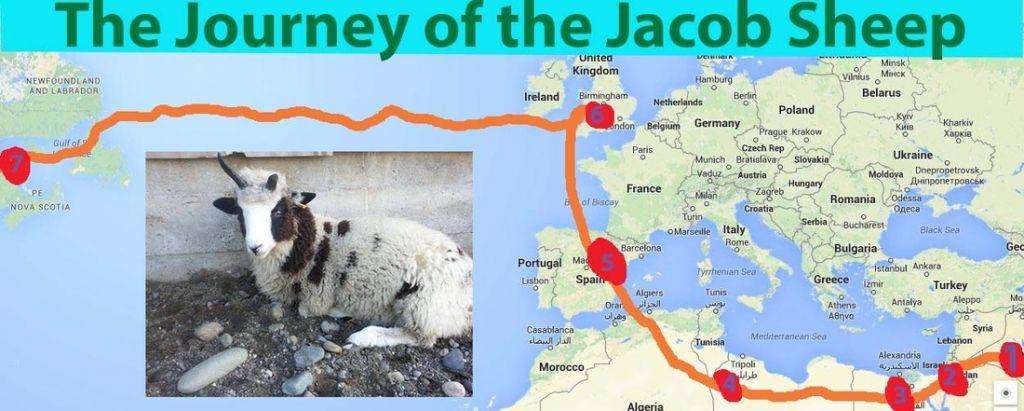Les recherches génétiques ont retracé le parcours du mouton de Jacob, depuis l'ancienne Syrie jusqu'à l'Amérique du Nord (Crédit : autorisation Gil Lewinsky)