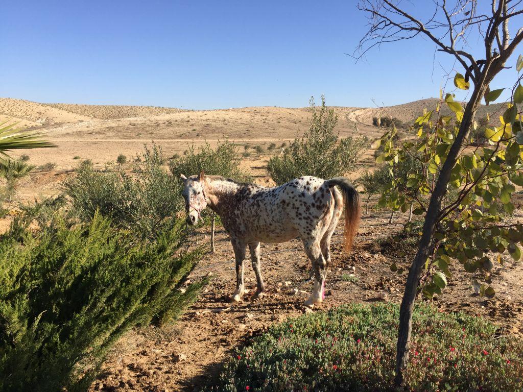 L'un des quatre chevaux des Klinger dans leur ranch du Néguev. (Crédit : Jessica Steinberg/Times of Israel)
