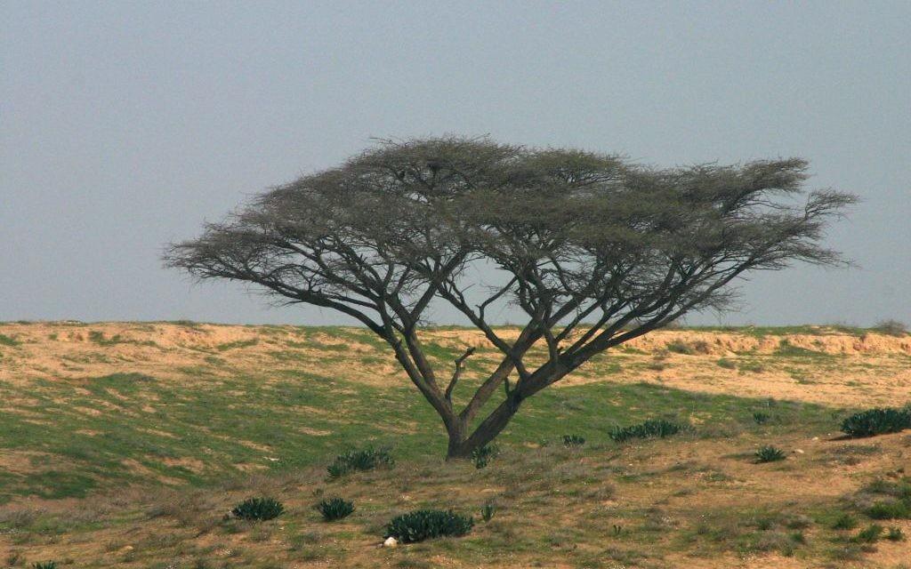 Un acacia sur la route Besor Scenic du Fonds national juif, dans le Néguev. (Crédit : Shmuel Bar-Am)