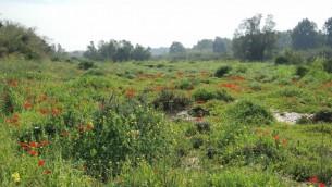 """les """"kalaniyot"""" commencent tout juste à fleurir fin janvier. Les zones proches des rivières saisonnières ont à présent la plus haute concentration d'anémones, mais les bourgeons fleuriront dans les prochaines semaines. (Crédit : Melanie Lidman/Times of Israel)"""