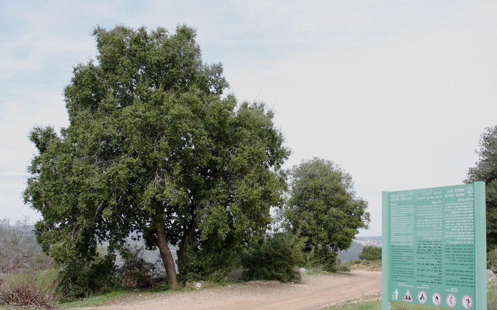 Un chêne à Hirbet Saadim, dans la forêt Aminadav du Fonds national juif, près de Jérusalem. (Crédit : Shmuel Bar-Am)