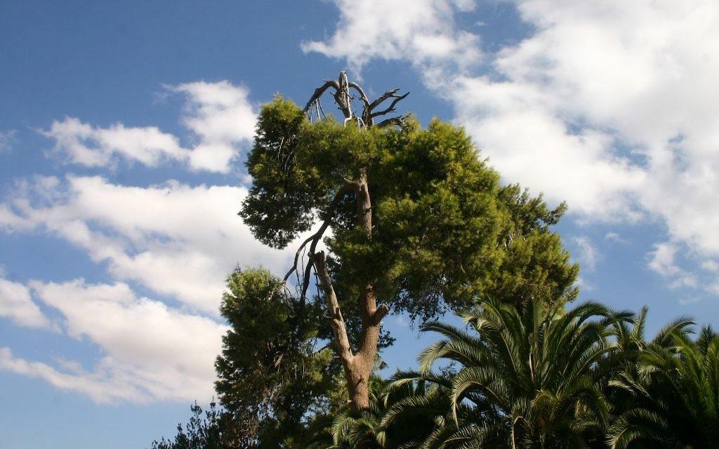 Un pin de Jérusalem à Abu Ghosh. (Crédit : Shmuel Bar-Am)