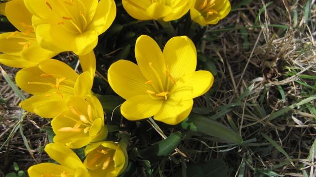 La fleur Sternbergia, que l'on trouve également dans la réserve naturelle de Yeruham à la fin de l'hiver, ressemble à un crocus, mais est plus proche du narcisse. (Crédit : Engeser/Wikimedia Commons)