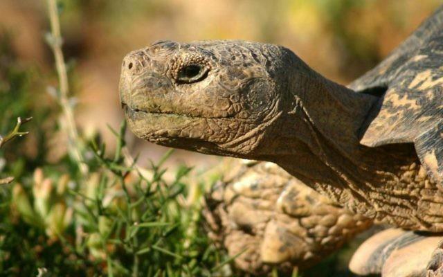 Une tortue léopard adulte mâle (Crédit : Wikipedia / Charles de Sharp / CC BY 3.0)