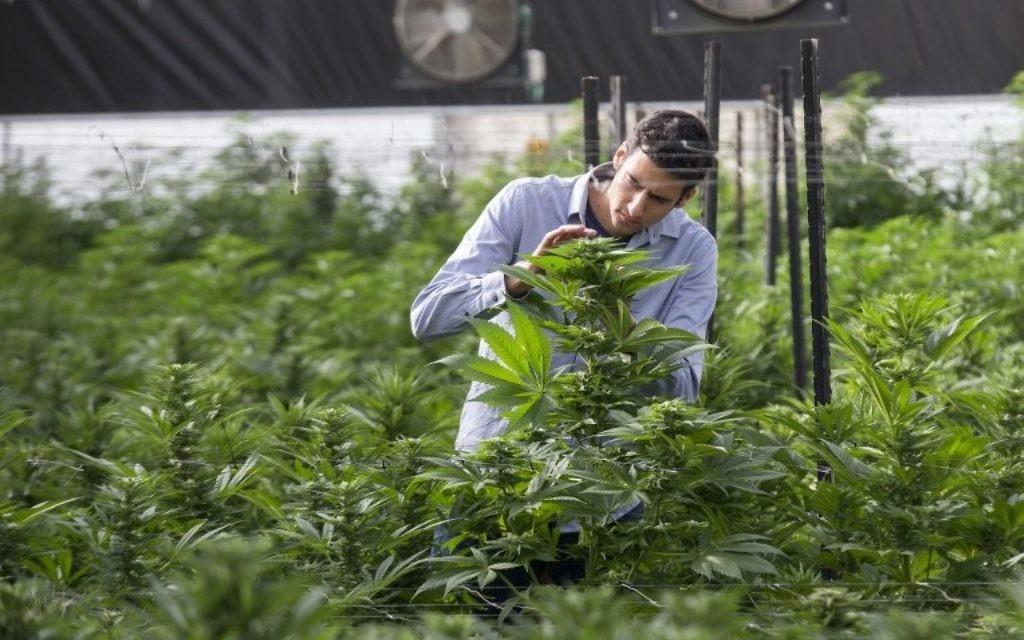 Un ingénieur agricole israélien inspecte un plan de marijuana de la serre de B.O.L. Pharma, dans la deuxième plus grande plantation de cannabis médicinal du pays, près de Kfar Pines, dans le nord d'Israël, le 9 mars 2016. (Crédit : Jack Guez/AFP)