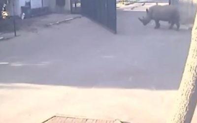 Un rhinocéros sortant du zoo de Ramat Gan, le 6 mars 2016. (Crédit : capture d'écran Twitter/Guy Cotev)