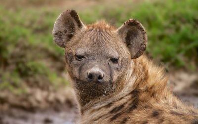 Une hyène sauvage en Tanzanie, en Afrique, le 10 avril 2014 (Crédit : Doron Horowitz / Flash90)
