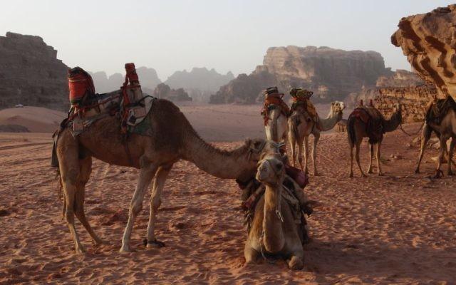 Des chameaux au repos dans le désert du Wadi Rum en Jordanie, le 8 février 2013 (Crédit : Lucie Mars / flash 90)