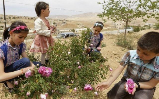 Des enfants syriens cueillent des roses de Damas (Rosa Damascena), dans le village de Marah, au nord de Damas, la capitale, le 11 mai 2016. (Crédit : AFP PHOTO / LOUAI BESHARA)