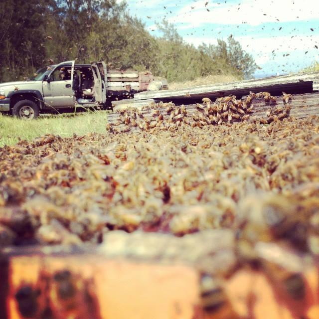 Des apiculteurs entourés de centaines de milliers d'abeilles dans la ferme apicole de Big Island Bees. Whendi Grad et son mari Garrett Puett produisent du miel biologique, à partir d'une seule fleur et d'autres produits dans les environs de Captain Cook sur la Grande île (Crédit : Facebook)