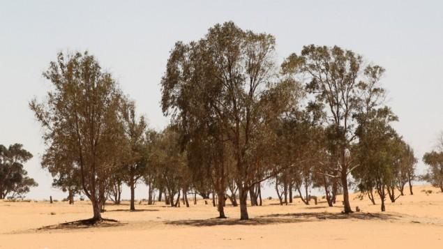 Des eucalyptus, dans le désert du Néguev (Crédit : photo d'illustration Nati Shohat/Flash90)