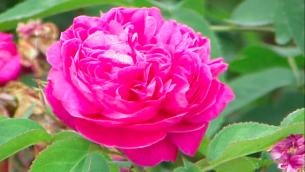 Illustration d'une rose de Damas (Crédit : Wikimedia commons)