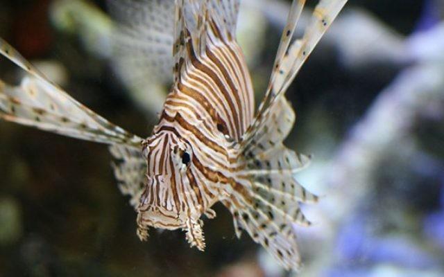 La rascasse volante, espèce très invasive, dans un aquarium de Long Beach, en Californie. (Crédit : DMSamson/Flickr/CC BY-2.0)