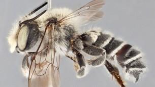 Megachile chomskyi (Crédit : Wikimedia Commons via JTA)