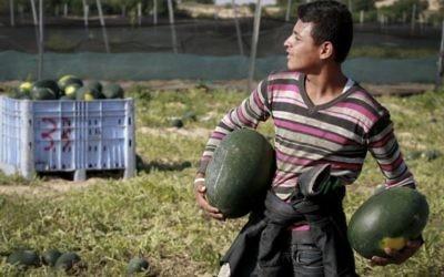 Un fermier palestinien récolte des pastèques dans le sud de la bande de Gaza, le 9 mai 2015. (Crédit : Abed Rahim Khatib/Flash90)