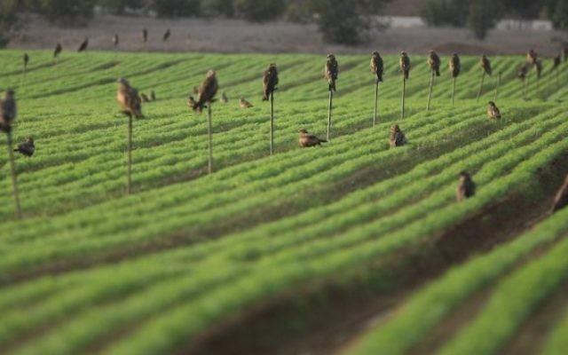 Un champ irrigué en goutte-à-goutte dans le sud d'Israël. (Crédit : Kobi Gideon/Flash90)