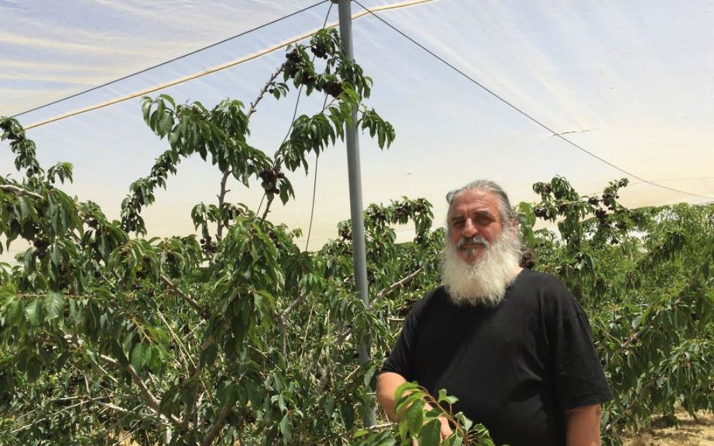 Roni Dotan et ses cerises, soigneusement cultivées depuis 14 ans au Kibboutz Ramat Rachel (Photo: Jessica Steinberg / Times of Israel)