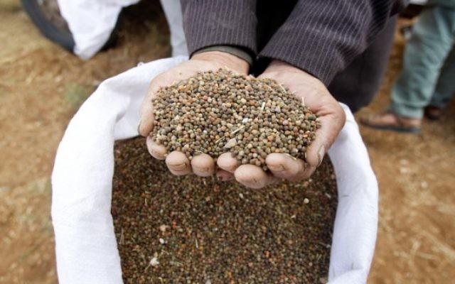 Des Palestiniens cultivent de l'orge et du blé dans un champ près de Hébron, en Cisjordanie, le 6 mai 2016. (crédit : Wisam Hashlamoun/Flash90)