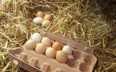 Des œufs. Illustration. (Crédit : Wikimedia commons CC BY SA 3.0)