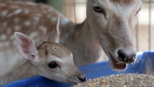 Malheureusement, le bébé cerf est mort peu de temps avant le sauvetage. La mère est blessée, mais Four Paws espère qu'elle va récupérer pleinement. (Crédit : Four Paws)