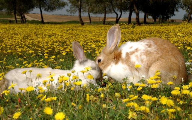 Des lapins sauvages au Kibbutz Magen, dans le sud d'Israël, le 26 août 2013 (Crédit : Dudu Greenspan / Flash90)