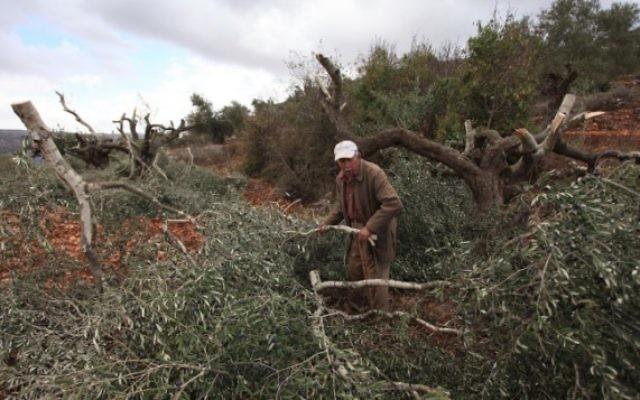 Un Palestinien inspecte les dégâts sur ses oliviers qui auraient été coupés par des résidents d'implantation en octobre 2013 (Issam Rimawi/Flash90)