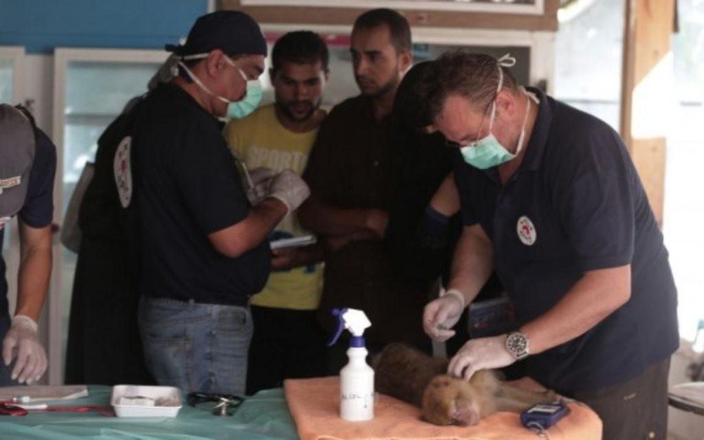 """Le dernier tigre de Gaza, nommé Laziz, qui a été évacué d'un zoo à Khan Younis dans le sud de la bande de Gaza est porté par les membres de l'ONG """"Four Paws"""" et les vétérinaires de l'Université hébraïque à Beit Dagan, près de Tel Aviv, le 24 août 2016, avant d'être transporté en Afrique du Sud. (Crédit : AFP / MENAHEM KAHANA)"""