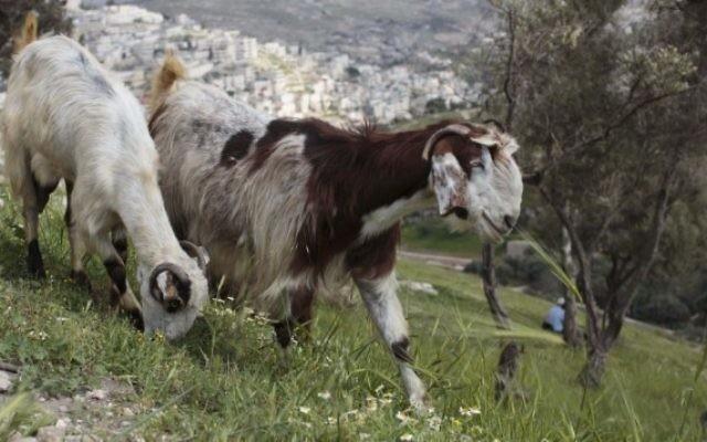 Photo d'illustration de chèvres (Crédit : Sarah Schuman/Flash90)