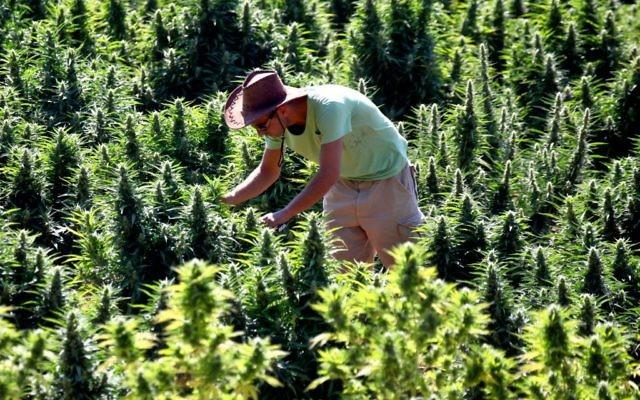 Un travailleur s'occupant des plants de cannabis dans une installation de la société Tikkun Olam près de la ville de Safed (Crédit : Abir Sultan / flash 90)
