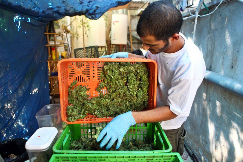 La marijuana médicale dans la phase de 'pré-cookie' (Crédit : Abir Sultan / flash 90)