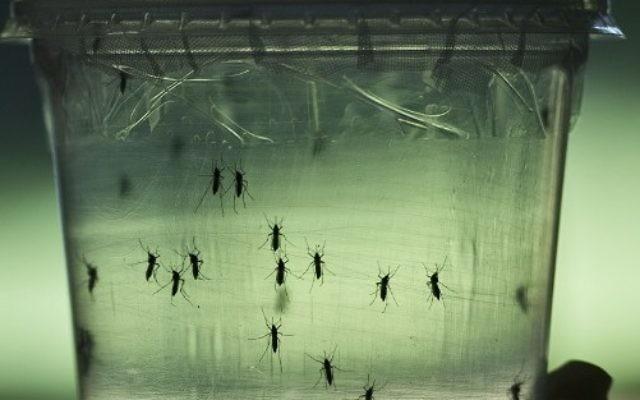 Des moustiques Aedes aegypti, qui transmettent entre autres le virus Zika, dans un laboratoire de l'Institut de sciences biomédicales de l'université de Sao Paulo, au Brésil, le 8 janvier 2016. (Crédit : AFP/Nelson Almeida)