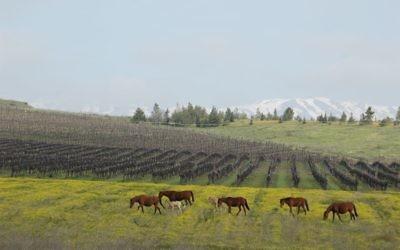 Vignes sur le plateau du Golan (Crédit : autorisation)