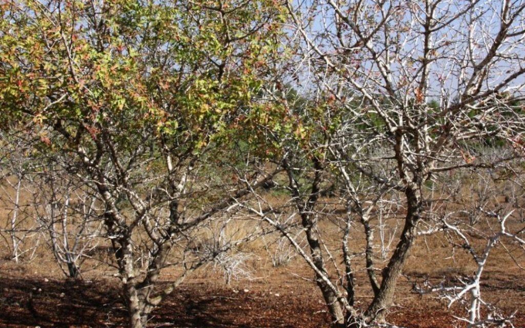 """La """"zone d'acclimatation"""" de la forêt Komemiyut, développé pour faire face à la faible quantité de précipitations de la région (Crédit : Shmuel Bar-Am)"""