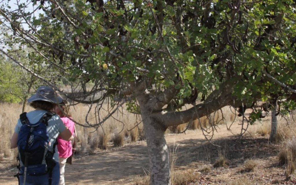 Jean-Baptiste s'est peut-être lui-même nourri avec les graines d'arbres de caroubiers quand il vivait dans les déserts de Judée (Crédit : Shmuel Bar-Am)