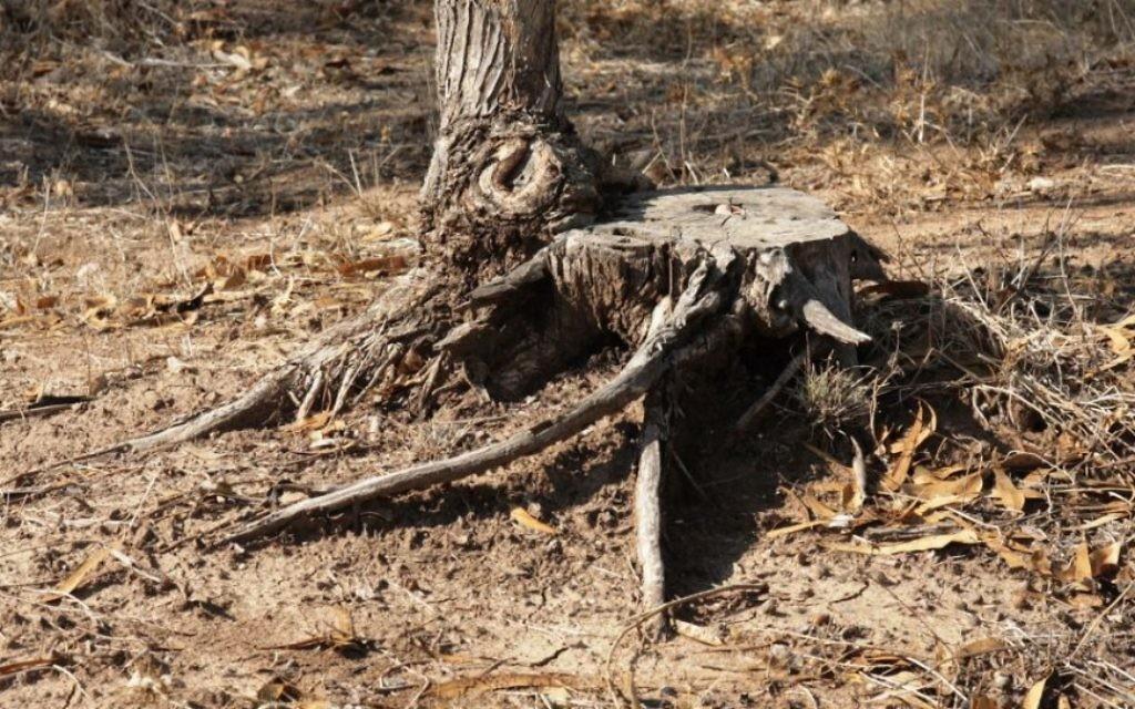 La racine d'un arbre d'eucalyptus, coupé pour un usage industriel (Crédit : Shmuel Bar-Am)