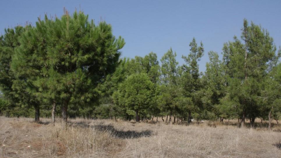 Le bosquet de pins dans la Forêt de Komemiyut. (Crédit : Shmuel Bar-Am)