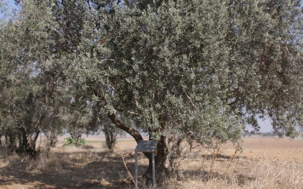 Le verger dans la forêt comprend des oliviers, ainsi que des sycomores, des amandiers, des figuiers et des grenadiers (Crédit : Shmuel Bar-Am)