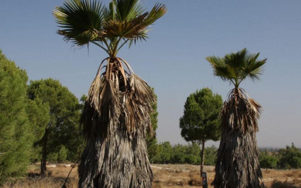 Des palmiers exotiques qui bordent le chemin de la carrière dans la forêt (Crédit : Shmuel Bar-Am)