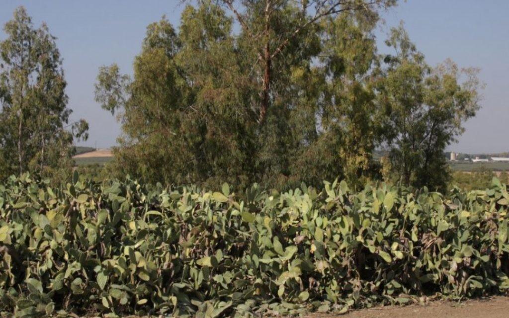 Les figues de Barbarie, ou sabras, fleurissent dans la région en été (Crédit : Shmuel Bar-Am)