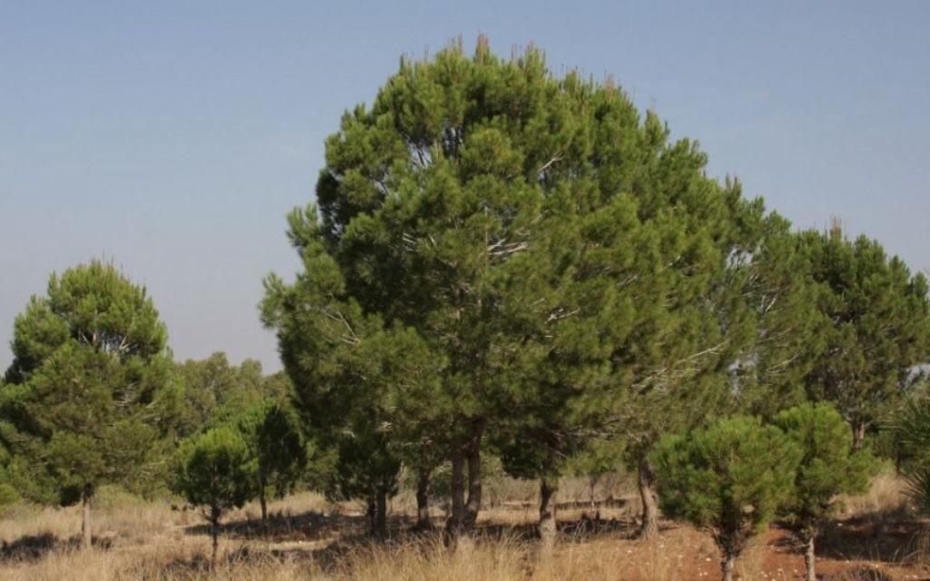 Les pins parasol sont originaires de la Méditerranée orientale et sont répandus dans toute l'Afrique du Nord (Crédit : Shmuel Bar-Am)