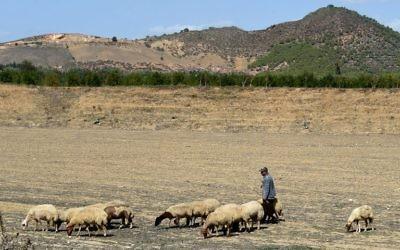 Un berger avec sou troupeau devant les champs de grenades de Testour, en Tunisie, le 15 octobre 2016. (Crédit : AFP/Fethi Belaid)